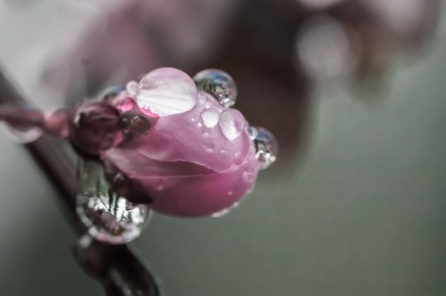 cherry-blossom-399851_1280