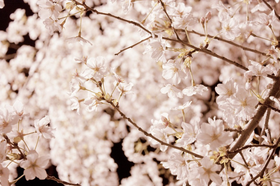 cherry-blossom-987192_1280
