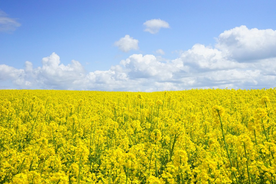 field-of-rapeseeds-474558_1280