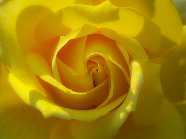rose-1383178_640
