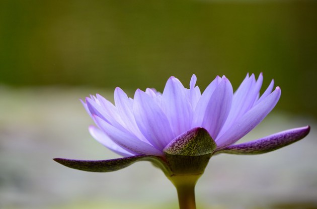 water-lily-1413450_640