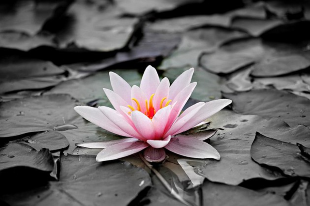 water-lily-1510707_640