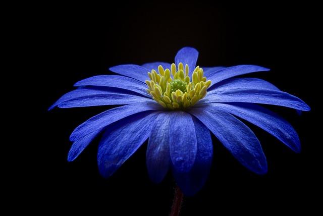 balkan-anemone-56414_640