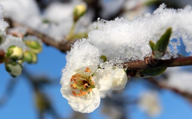 plum-blossom-1353813_640