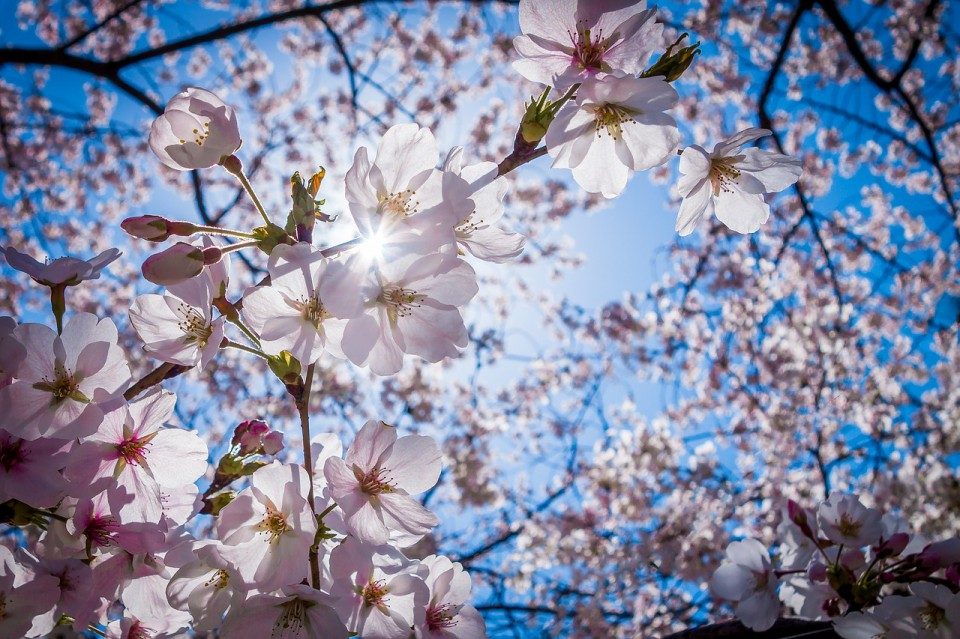 cherry-blossoms-1716763_1280