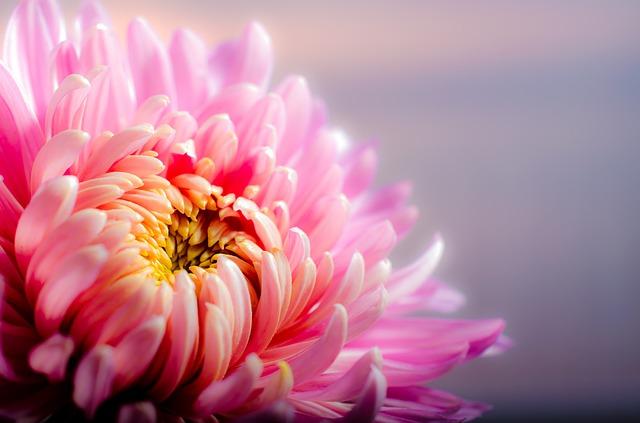 chrysanthemum-202483_640