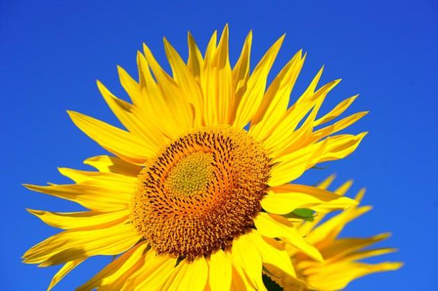 sun-flower-2511961_640