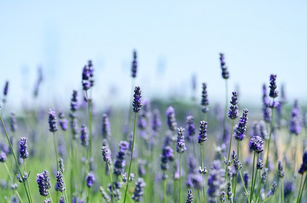 lavender-3490599_640