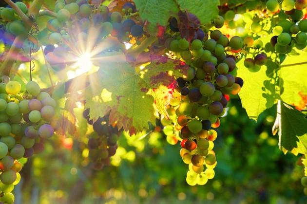 grapes-3550729_640